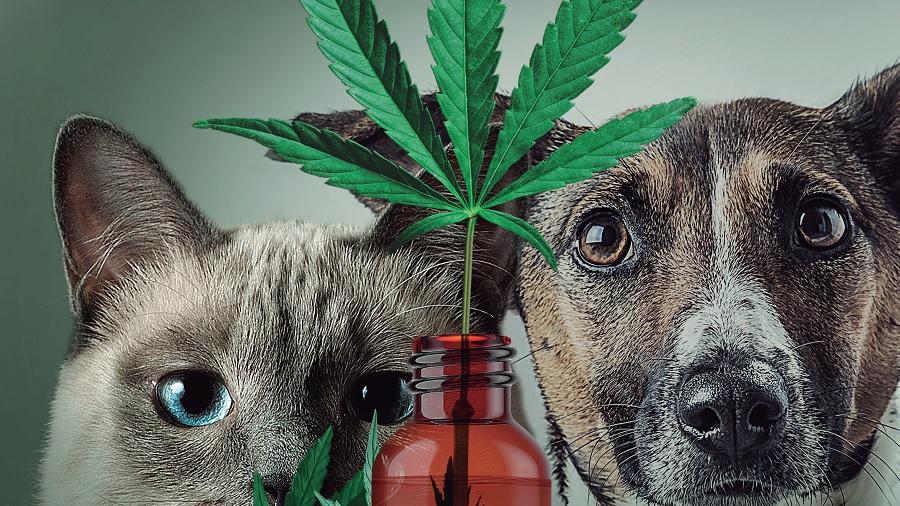 Cannabis para cuidar da saúde animal: projeto permite liberação da substância para uso veterinário